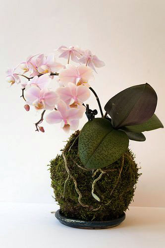 kokedama orchidee typisch daantje. Black Bedroom Furniture Sets. Home Design Ideas